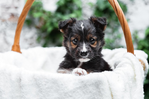 Newborn puppy black dog portrait in basket outdoor. adorable serious young domestic animal brown puppy sitting with paw on basket border as gift or surprise on white plaid.