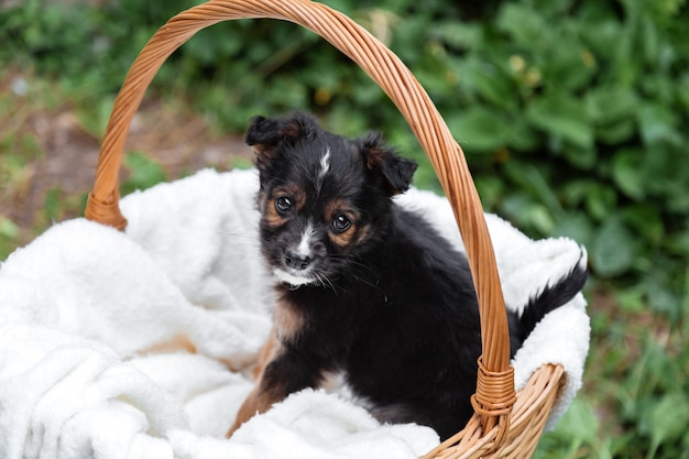 Newborn puppy black dog portrait outdoor. adorable young domestic animal brown puppy sitting missing waiting in basket.dog as gift or surprise on white plaid.
