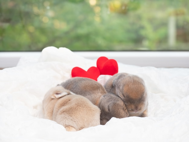 Newborn rabbits sleeping on white frabic with red heart.