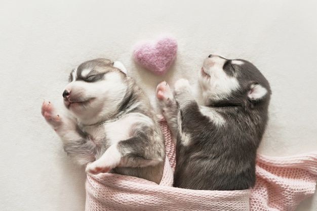 Newborn siberian husky puppy age of 1 days. husky dog breeding. concept of veterinary medicine, zoo clinic, veterinary clinic. dog puppies sleep. zoo hotel. animal hotel. goods for pets