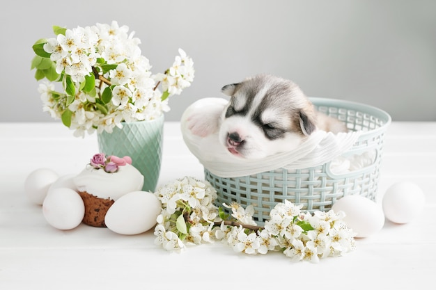Newborn siberian husky puppy. husky dog breeding. easter dog with flowering pear branches and eggs.easter greeting card template