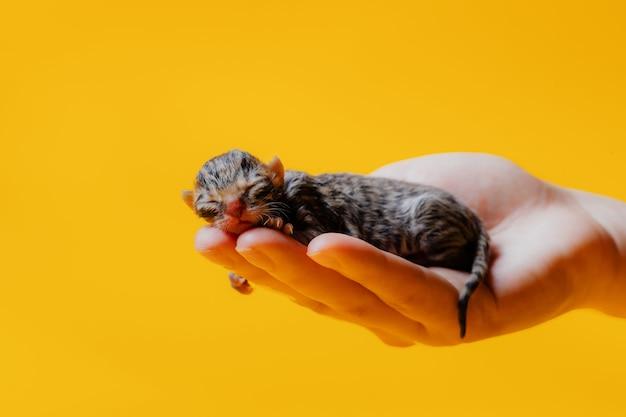 노란색 벽에 고립 된 작물 여자의 손에 자 신생아 작은 새끼 고양이