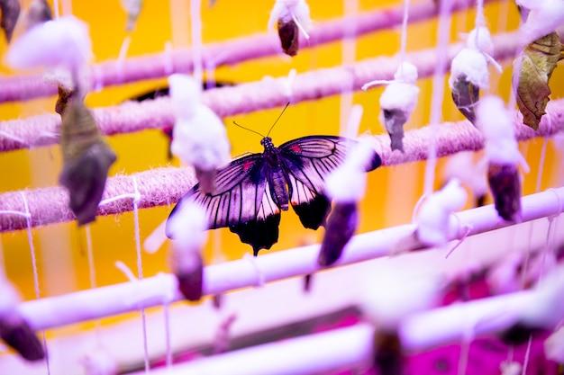 Новорожденная тропическая бабочка сидит в теплице с другими коконами