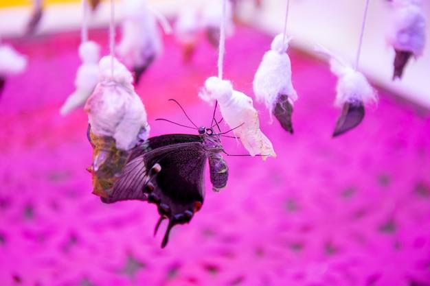 Новорожденная тропическая бабочка сидит на коконе в оранжерее