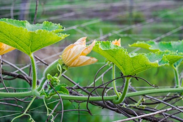 농장에서 자라는 노란 꽃과 함께 갓 태어난 겨울 멜론 스쿼시