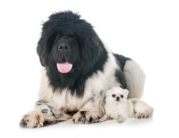 ニューファンドランド犬とチワワ