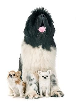 Newfoundland dog and chihuahuas