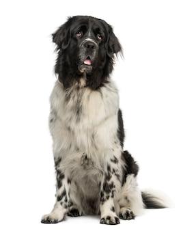 Собака ньюфаундленда сидит, тяжело дыша, изолирована на белом