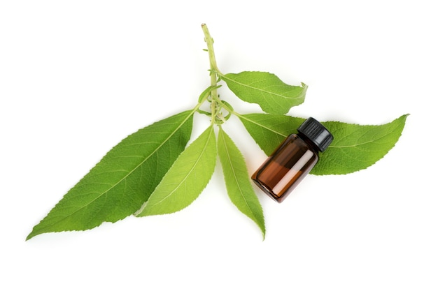 Ngai camphor tree green leaves and extract in the bottle isolated on white background.