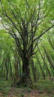 素敵な大きな木、ロシア、ソチのイチイ-ボックスウッドの木立