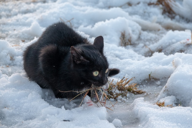 Nice domestic cat carrying small rodent prey in natural garden environment background in winter