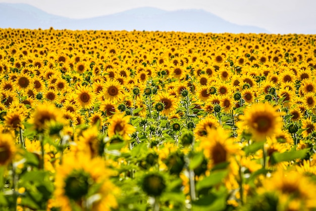 Nice field of sunflowers on a sunny day. alava, basque country, spain