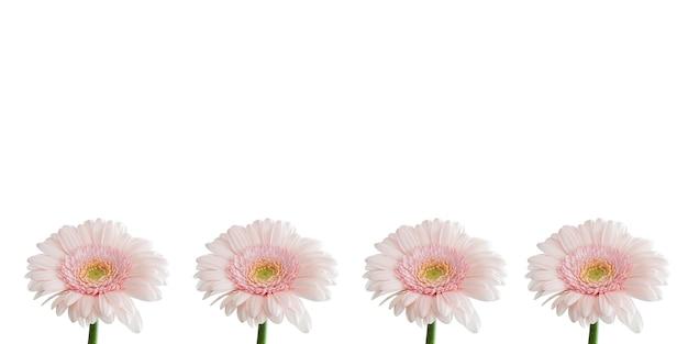 白い背景のピンクの白い色の素敵な花は素晴らしい花がとてもかわいいように見えます