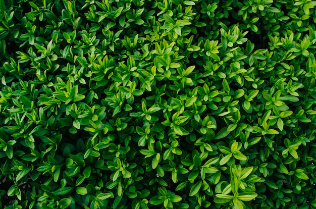 Nice fresh green bush leaves closeup texture background