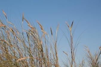 Nice grass against the sky