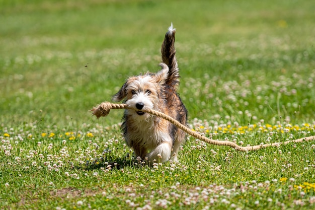 晴れた夏の日にロープで芝生で遊ぶ素敵な雑種の子犬