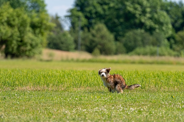 Симпатичный щенок смешанной породы какает в траве в солнечный летний день