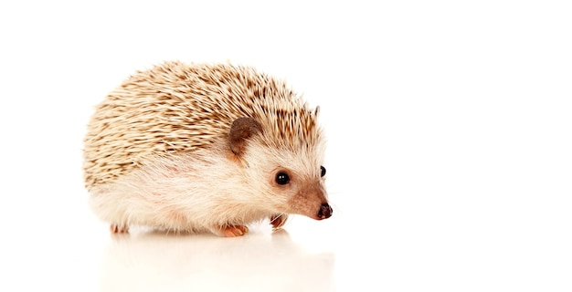 Nice pet. brown hedgehog