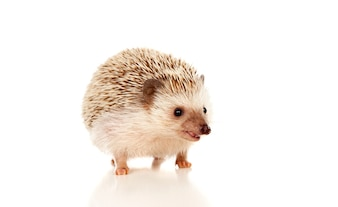 Hedgehog Vectors Photos And Psd Files Free Download