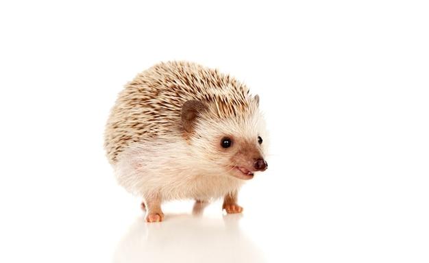 Nice pet. brown hedgehog
