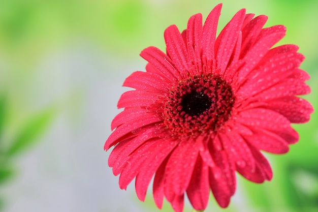 緑の春の背景に素敵なピンクのガーベラの花。春、ガーデニングのコンセプトです。素敵な挨拶ギフト。