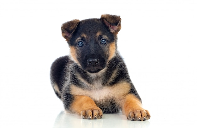 Nice puppy with blue eyes