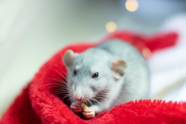 Nice rat sitting in a christmas hat. chinese symbol of new year 2020 and christmas.