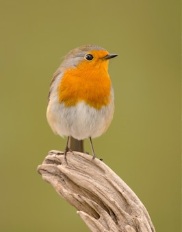 Nice robin  with a beautiful plumage in the nature
