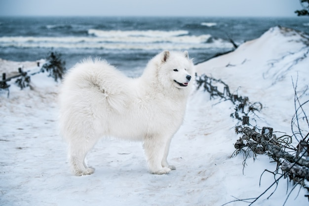 니스 사모예드 흰 개가 눈 위에 있습니다. 라트비아의 carnikova 발트해 해변입니다. 하얀 솜털 개는 마치 테디처럼