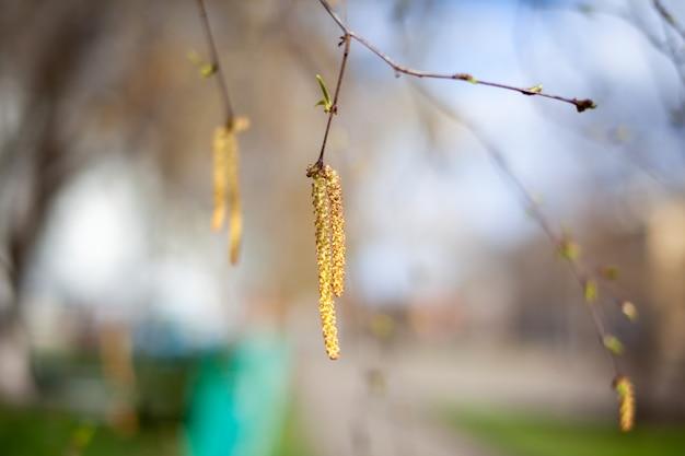 자작 나무 가지의 멋진 화창한 전망. 새싹과 밝은 녹색의 작은 잎이 잘 자랍니다. 장식용 자작 나무 꽃-길고 가느 다란 catkins는 나뭇 가지에 매달려 있습니다. 봄, 계절 알레르기의 도래.