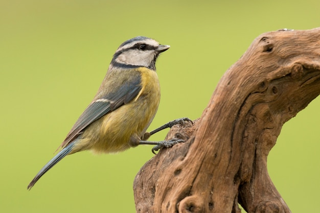 Nice tit with blue head