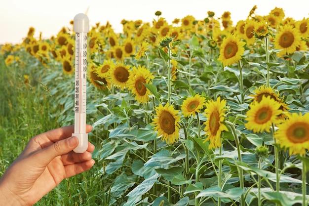 Хорошие погодные условия для выращивания подсолнечника. термометр измеряет высокую температуру летом на зеленом поле с растениями.