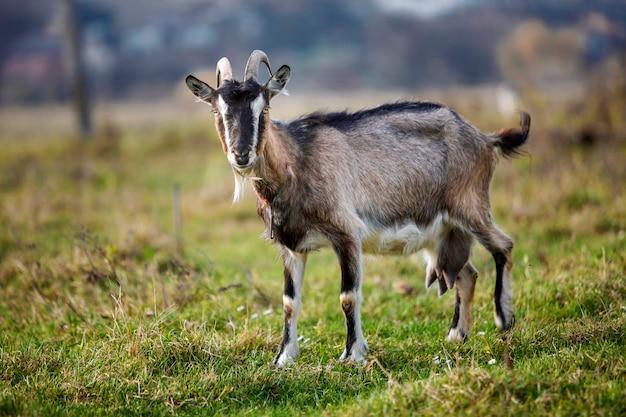 Славная белая коричневая волосатая бородатая коза с длинными рогами и бородой на яркий солнечный теплый летний день на размытом фоне зеленой травой поле. концепция земледелия домашних животных.