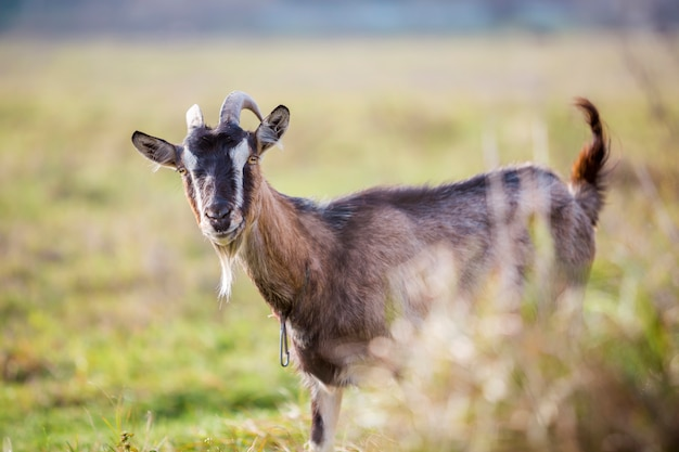 Nice white brown hairy bearded goat with long horns and beard on bright sunny warm summer day on blurred green grassy field background. domestic animals farming concept.