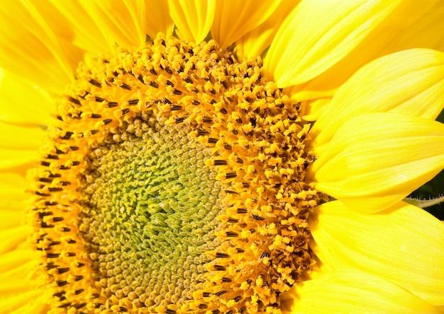 素敵な黄色のヒマワリの断片マクロ(自然の背景)。かなりのシャープネスのある3枚の合成写真。