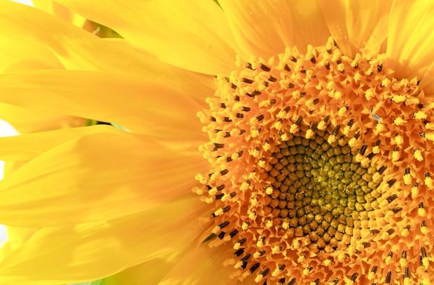 素敵な黄色のヒマワリの断片(自然の背景)。かなりのシャープネスのある合成マクロ写真。