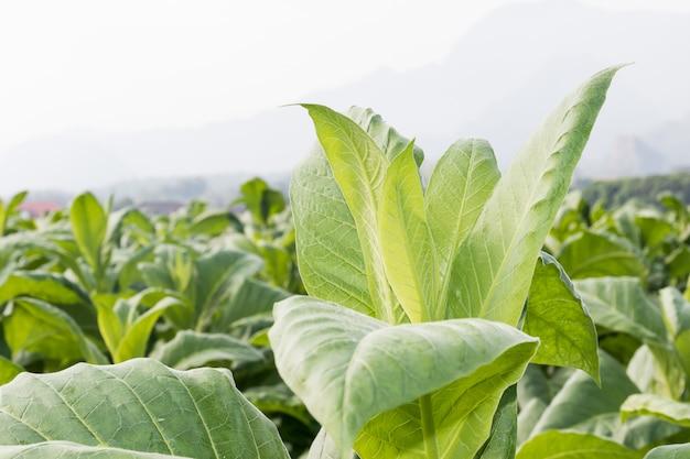 Крупным планом nicotiana tabacum