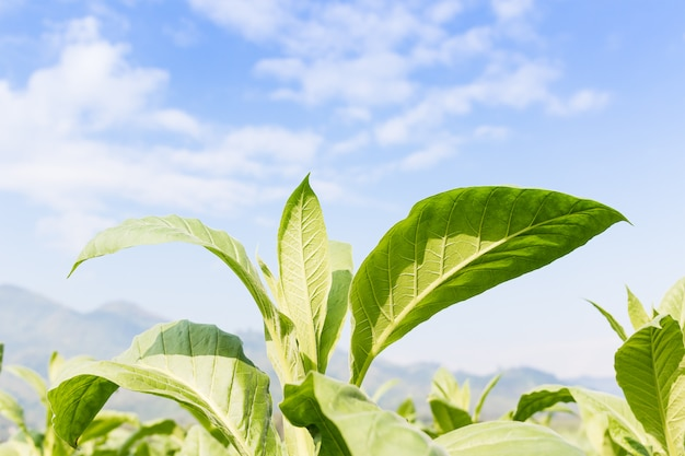 Nicotiana tabacum травянистое растение