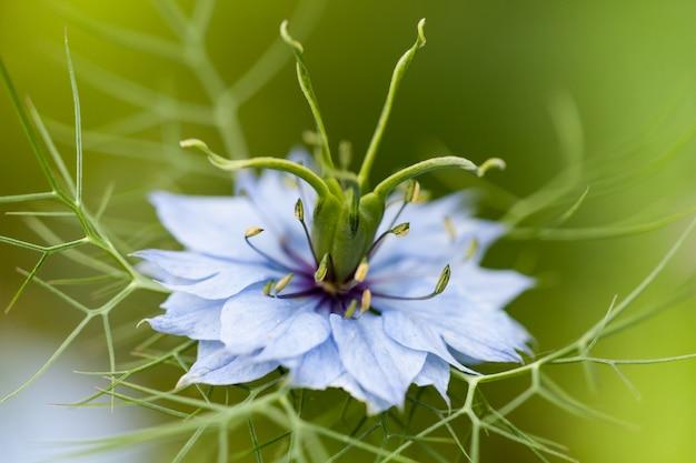 Nigella damascenaの花のクローズアップ