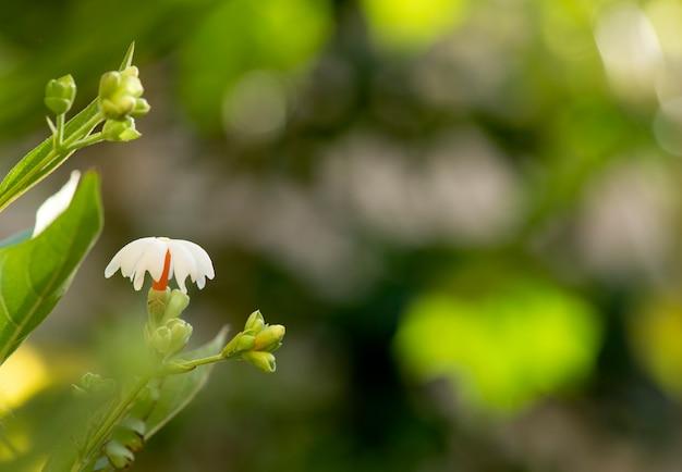 ぼやけた自然に夜香花ジャスミンの花