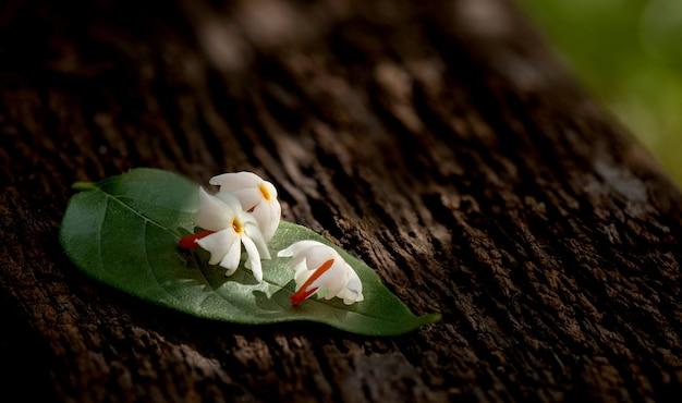 古い木とぼやけた自然に夜香花ジャスミンの花