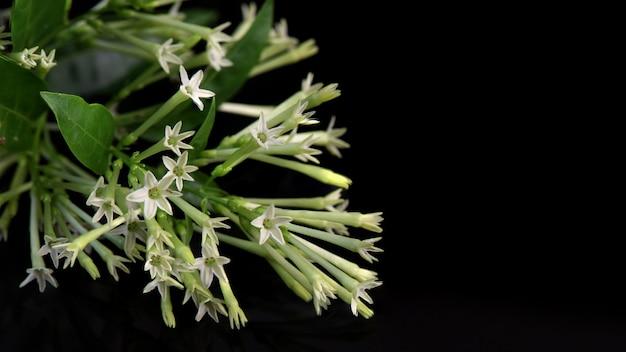 밤에 피는 재스민 또는 cestrum nocturnum 꽃은 검은 배경에 고립되어 있습니다.