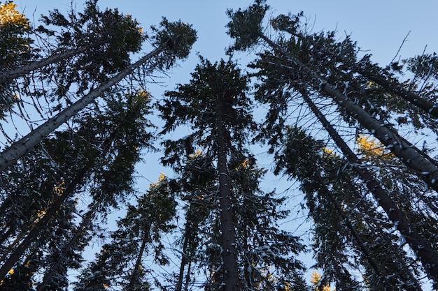 暗い森の夜、クリスマス前の森の散歩。雪に覆われた新年。トウヒの木の松