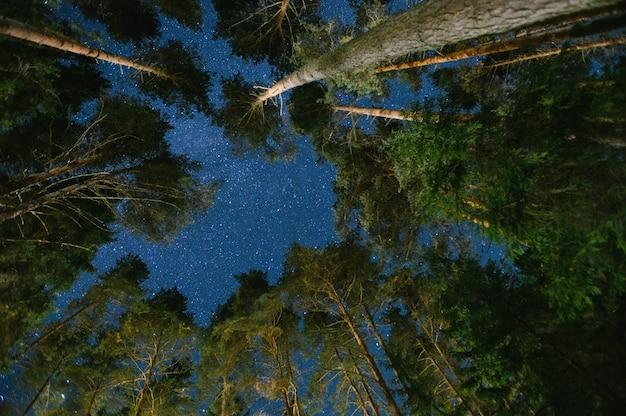 Ночное небо в сосновом лесу.