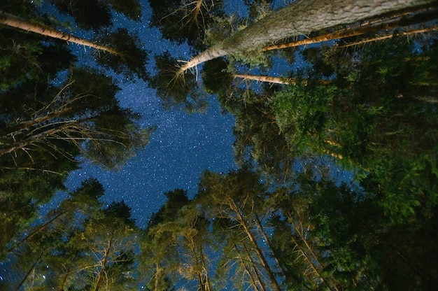 Night sky in a pine forest.