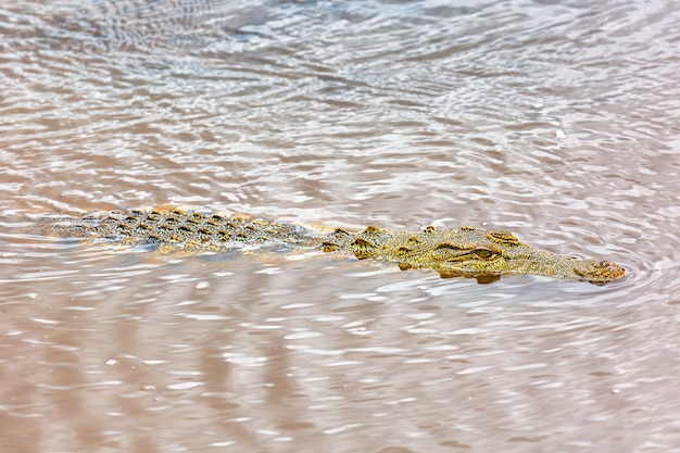 Nile crocodile in the maasai river. maasai mara national park, kenya. african wildlife.