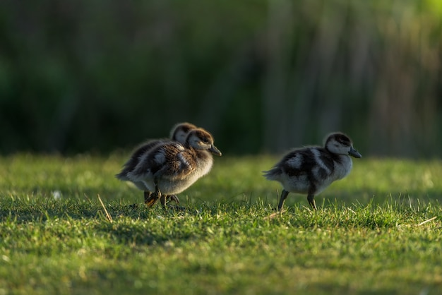 Nile goose chicks walked on the grass with the first lights of the day