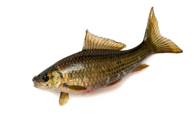 흰색 배경에 nilem bonylip 미늘 물고기