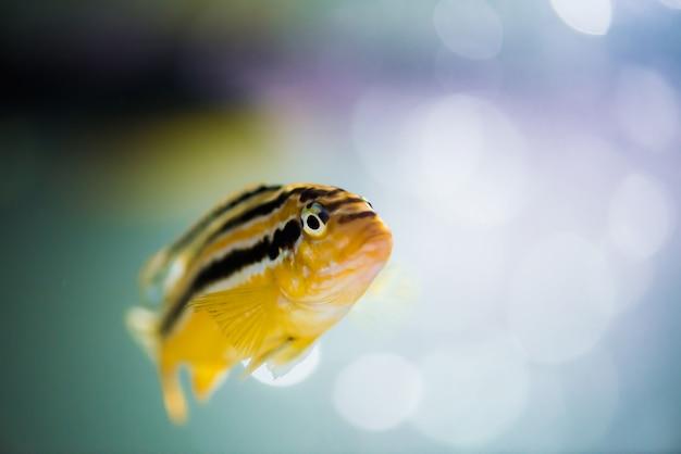 Nimbochromis livingstonii рыбы желтого цвета с черной полосой плавает в аквариуме.