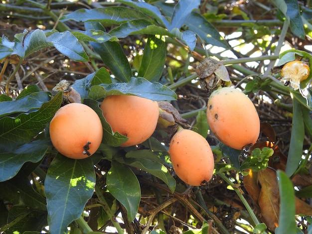 Nisperos en la rama del arbol